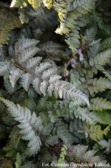 Athyrium niponicum 'Red Beauty' (Wietlica japońska) - C5
