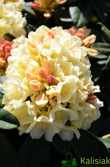 Rhododendron 'Golden Torch' (Różanecznik) - C7,5