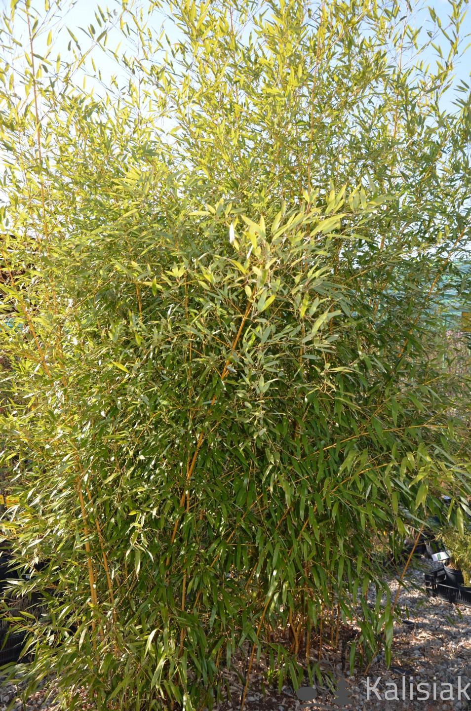 Phyllostachys aureosulcata f. aureocaulis (Bambus Filostachys złotobruzdowy) - C3