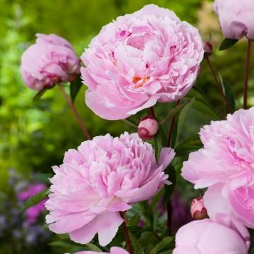 Paeonia lactiflora 'Sarah Bernhardt' (Piwonia chińska) - C3