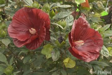 Hibiscus Summerific 'Cranberry Crush' (Hibiskus bagienny) - C1,5