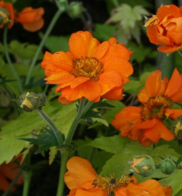 Geum 'Princes Juliana' (Kuklik)  - C5