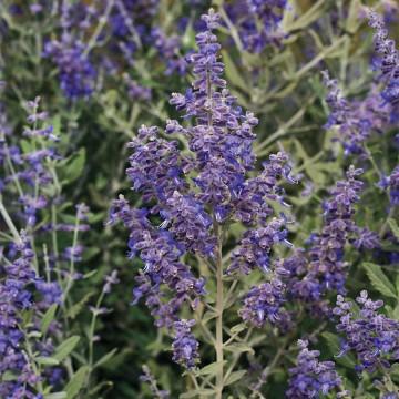Perovskia atriplicifolia 'Blue Steel' (Perowskia łobodolistna) - C2