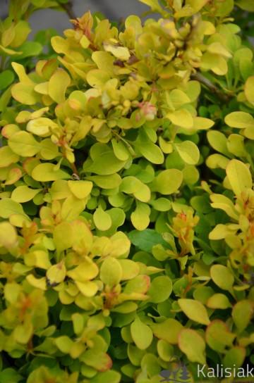 Berberis thunbergii 'Lime Star' (Berberys Thunberga) - C2