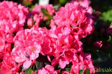 Rhododendron japanese azalea 'Diamant Rot' (Azalia japońska) - C2