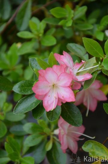 Rhododendron japanese azalea 'Peggy Ann' (Azalia japońska) - C2