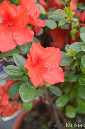 Rhododendron japanese azalea 'Santa Maria' (Azalia japońska) - C2