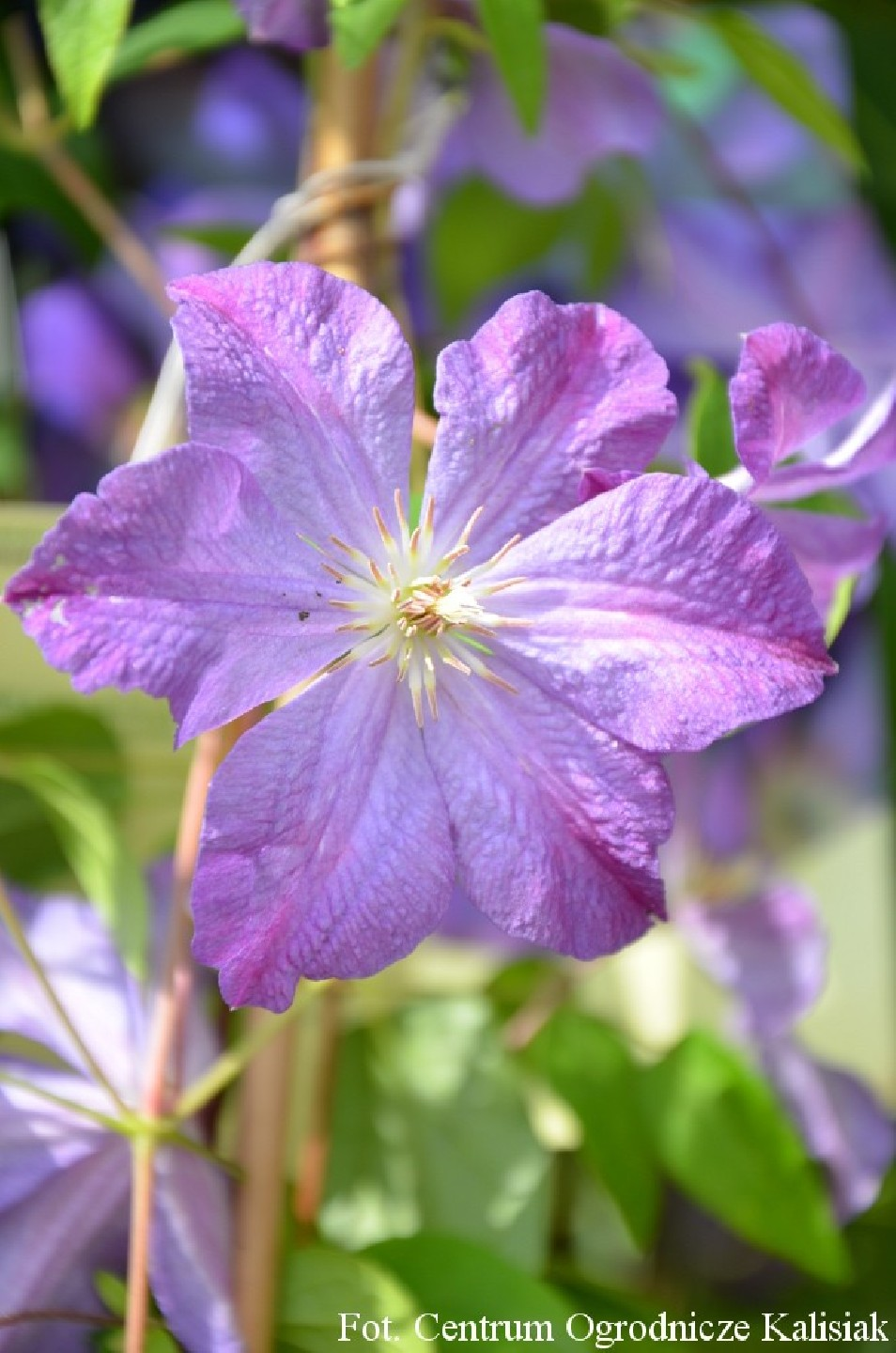 Clematis 'Solina'