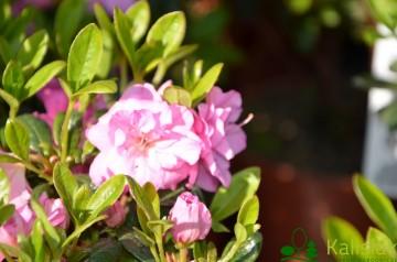 Rhododendron japanese azalea 'Marinja' (Azalia japońska) - C4