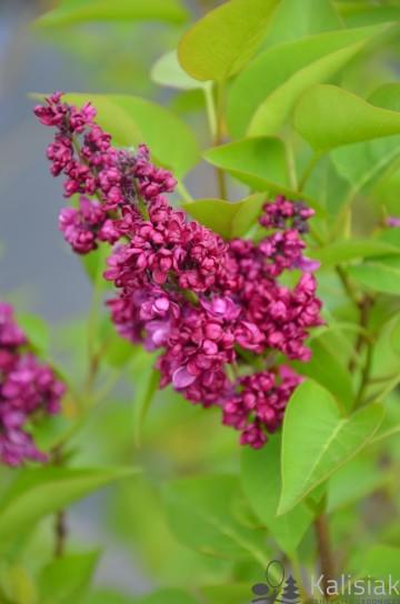 Syringa vulgaris 'Charles Joly' (Lilak pospolity) - C7,5