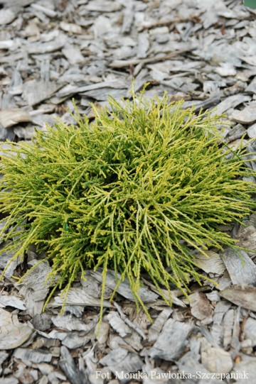 Chamaecyparis pisifera 'Sungold' (Cyprysik groszkowy) - C2