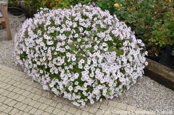Petunia Supertunia 'Vista Silverberry' (Petunia)  - AN12