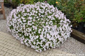 Petunia Supertunia 'Vista Silverberry' (Petunia) - AN12
