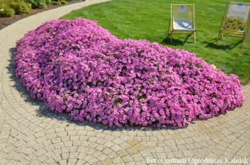 Petunia Supertunia 'Vista Bubblegum' (Petunia)  - AN12