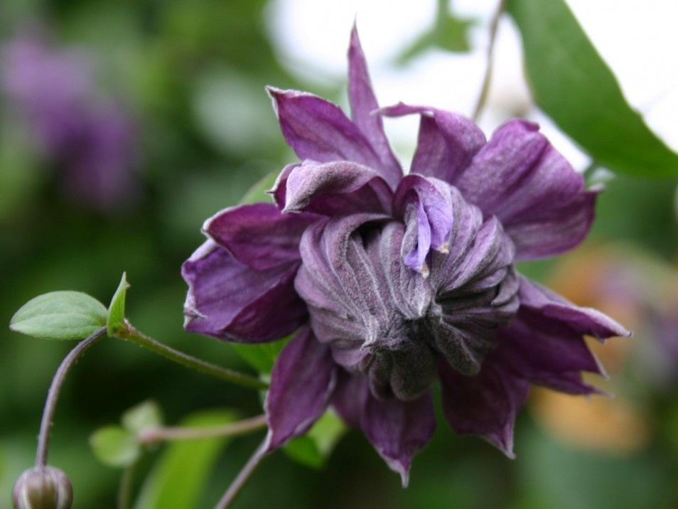 Clematis 'Mary Rose'