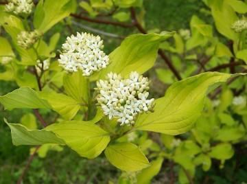 Cornus alba 'Aurea' (Dereń biały) - C3