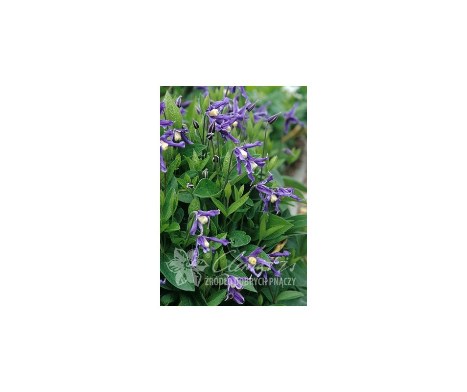 Clematis 'Bluish Violet'
