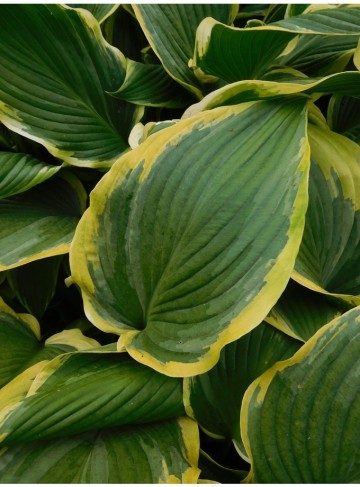 Hosta 'Yellow River' (Funkia)  - C2
