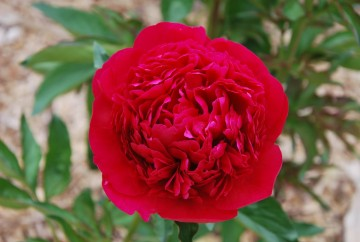 Paeonia 'Red Magic' (Piwonia chińska)  - C3