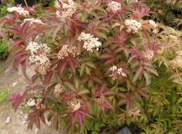 Sambucus nigra SERENADE 'Jonade' (Bez czarny) - C5