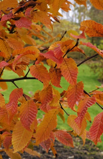 Carpinus betulus 'Orange Retz' (Grab pospolity)  - C5