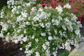 Rosa 'White Fairy' (Róża okrywowa) - C2