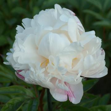 Paeonia lactiflora 'Mrs J.V.Edlund' (Piwonia chińska) - C2