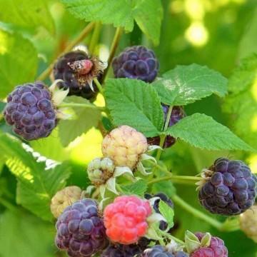 Rubus 'Glen Coe' (Malina) - C5