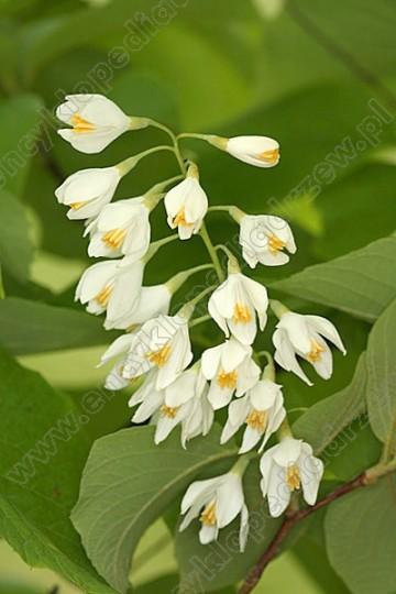 Styrax obassia (Styrak wielkolistny) - C5