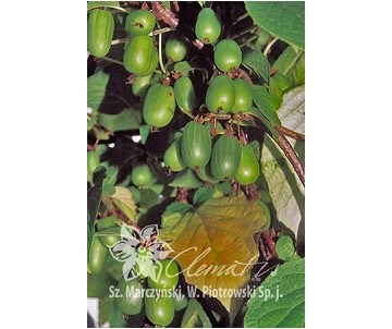Actinidia kolomikta 'Sentyabraskaya' (Aktinidia pstrolistna) - C2