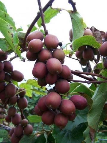 Actinidia purpurea 'Hardy Red' (Aktinidia purpurowa) - C2
