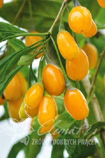 Lycium barbarum 'Amber Sweet Goji' (Kolcowój szkarłatny, Jagody Goji) - C2