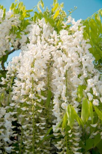 Wisteria floribunda 'Shiro-noda' (Glicynia kwiecista) - C2