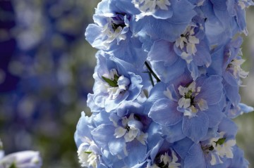 Delphinium 'Exc. Light Blue with White Bee' (Ostróżka) - C2