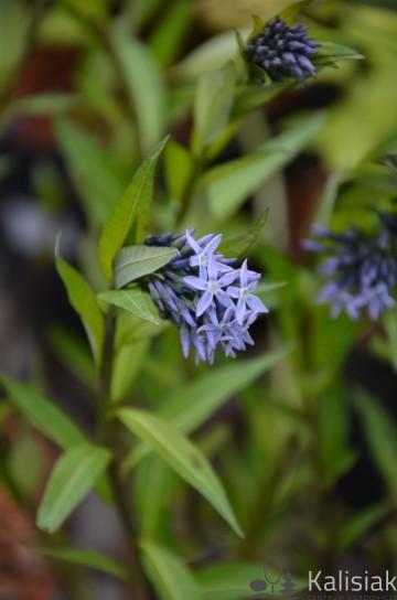 Amsonia tabernaemontana var. salicifolia (Amsonia nadreńska) - C5