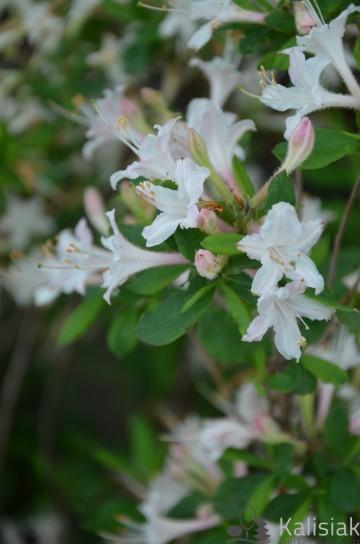 Rhododendron atlanticum (Azalia nadbrzeżna) - C3