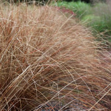 Carex buchananii (Turzyca Buchanana)  - C1,5