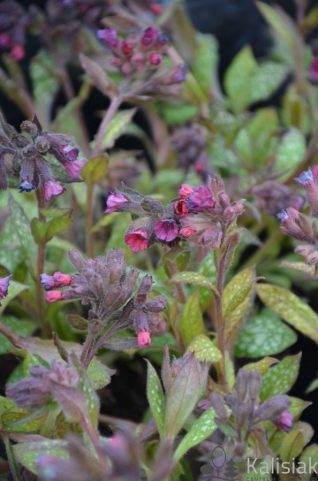 Pulmonaria 'Victorian Brooch' (Miodunka) - C2