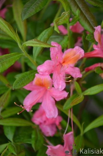 Rhododendron 'Pink Delight' (Azalia wielkokwiatowa) - C3