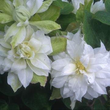 Clematis 'Duchess of Edinburgh' (Powojnik)  - C2