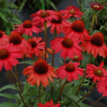 Echinacea purpurea 'Kismet Red' (Jeżówka purpurowa) - C2
