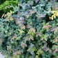 Spiraea japonica DOUBLE PLAY 'Blue Kazoo' (Tawuła japońska) - C3