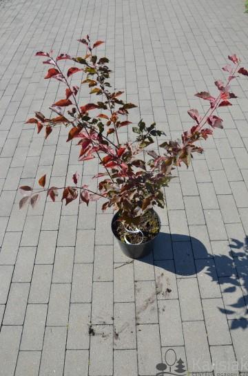 Prunus cerasifera 'Rosea Plena' (Śliwa ałycza) - C5
