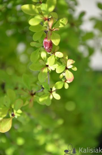 Berberis thunbergii 'Powwow' (Berberys Thunberga) - C5