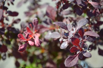 Berberis thunbergii 'Pink Attraction' (Berberys Thunberga)  - C2