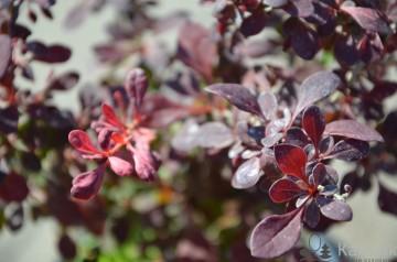 Berberis thunbergii 'Pink Attraction' (Berberys Thunberga) - C2