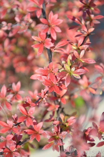 Berberis thunbergii 'Red Dream' (Berberys Thunberga)  - C3