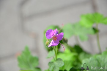Geranium cantabrigeiense 'Cambridge' (Bodziszek kantabryjski) - C2