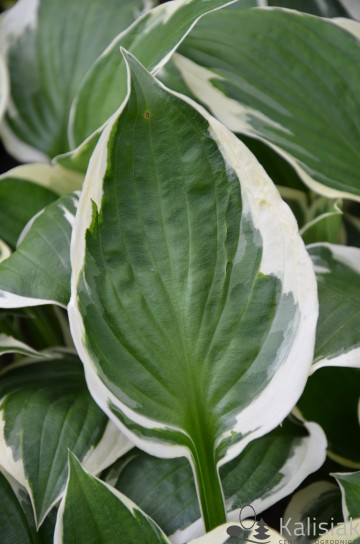 Hosta 'Patriot' (Funkia)  - C1,5