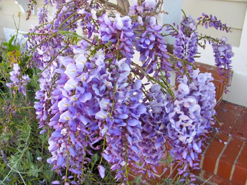 Wisteria floribunda 'Blue Dream'